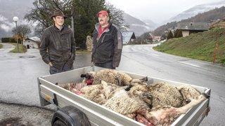 Hérémence: un loup aurait croqué quatre moutons à proximité des habitations