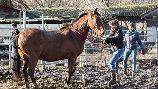 Martigny: menacés de séquestre, trente-six chevaux de race trouvent un nouveau domicile