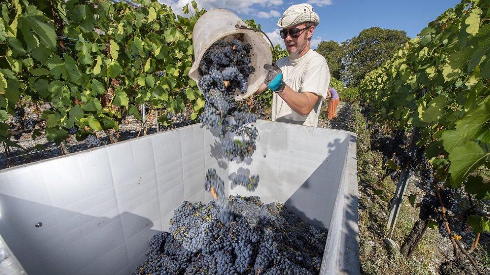 Les vignerons valaisans devraient obtenir un juste salaire pour des vendanges 2018 exceptionnelles.