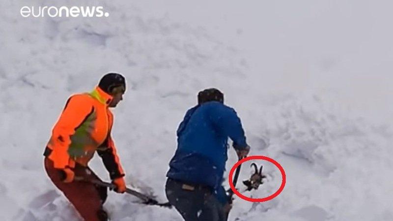 L'animal a été accidentellement enseveli par le chasse-neige du train.