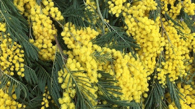 Du mimosa vendu pour les enfants du Valais