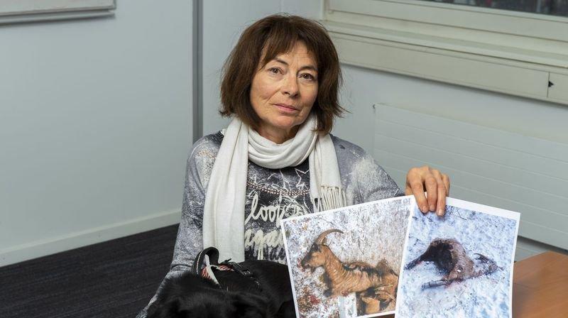 Ayent: deux chiens massacrent un troupeau de chèvres