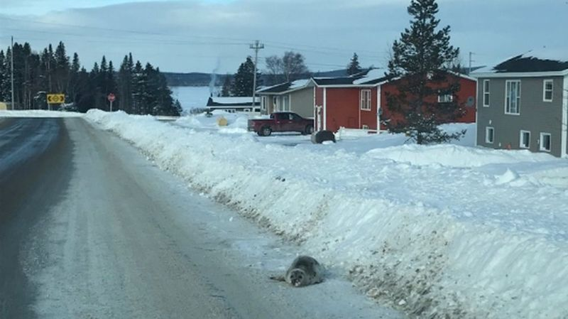 Les villageois n'ont donc pas d'autre choix que de laisser les bêtes choir dans leurs allées de garage ou dans la rue.