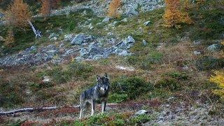 Très peu d'hybridation entre loups et chiens