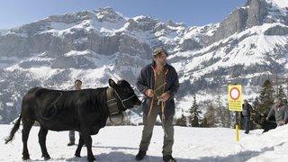 En hiver, les vaches de la race d'Hérens doivent sortir comme les autres, selon le TF