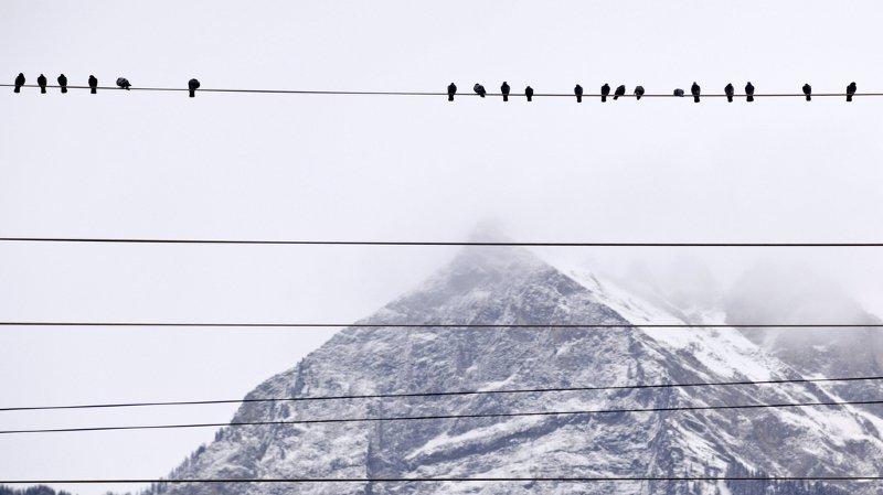 La Protection suisse des animaux souhaite réguler les courses de pigeons, durant lesquelles les pertes s'élèveraient à 50%, selon elle.