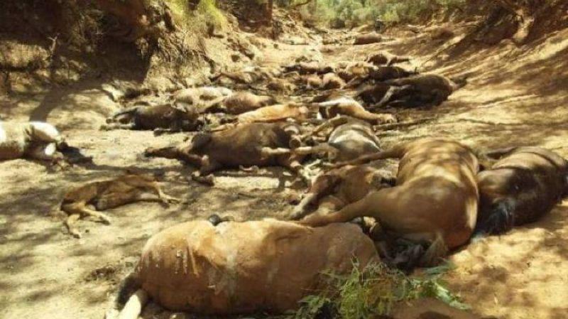 Une quarantaine de chevaux ont péri en raison d'une sécheresse extrême.
