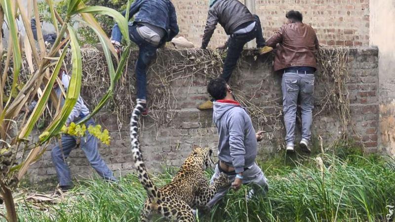 Un léopard a provoqué la panique pendant six heures dans la ville indienne de Jalandhar.