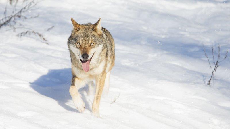 Un loup a été victime d'une arme à feu dans le Haut-Valais.
