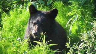 Etats-Unis: perdu deux jours en forêt, un enfant de trois ans prétend avoir survécu «grâce à un ours»