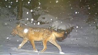Valais: les chasseurs à la rescousse pour tirer le loup