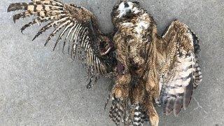 Valais: un oiseau rare électrocuté par une ligne ferroviaire à Saint-Léonard