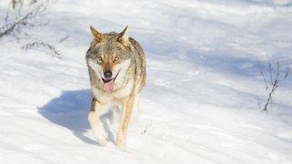 Un loup abattu par balle dans le Haut-Valais