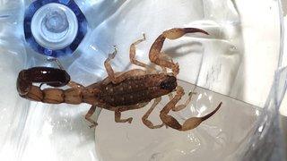 Zurich: de retour de vacances, il découvre un scorpion potentiellement dangereux dans sa valise