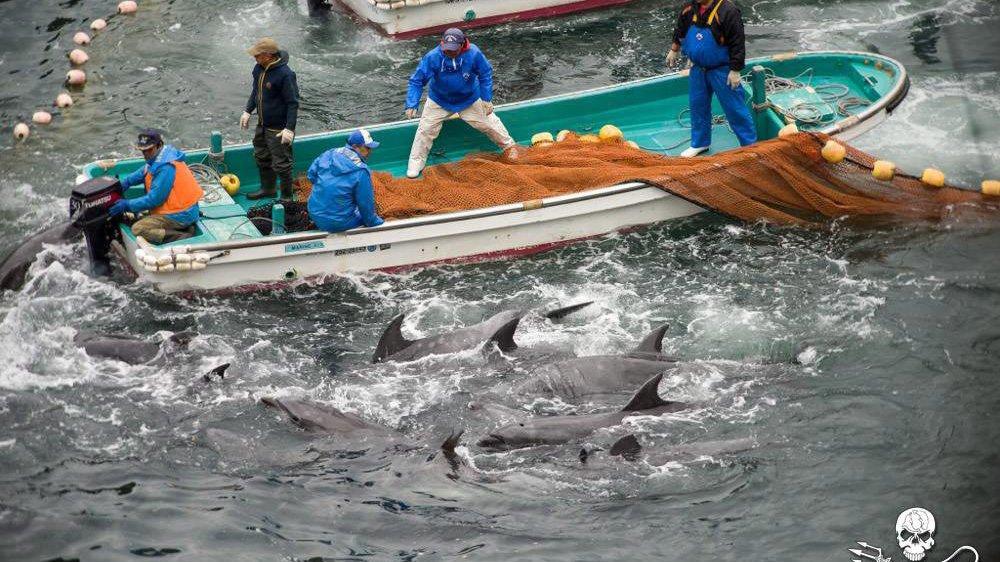 Un document distribué par l'organisation Sea Shepherd Conservation montre le processus de sélection des dauphins lors de la chasse annuelle aux dauphins, à Taiji, au Japon, en 2014. En dessous, des extrait d'images tournées par des activistes montrant la manière dont les dauphins sont tués dans la ville de Taiji.