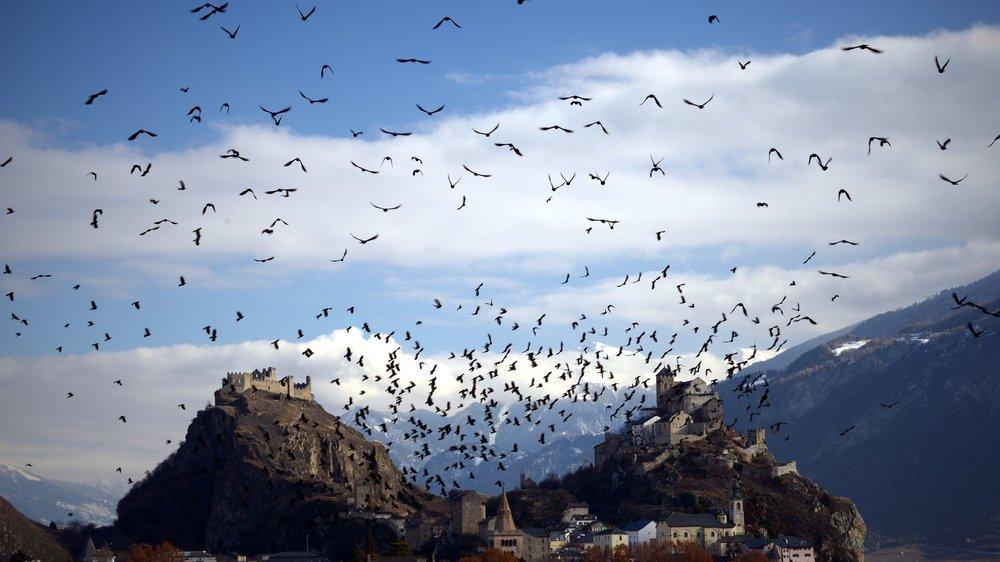 Les chocards, ces pendulaires montagnards du ciel qui égaient vos villes
