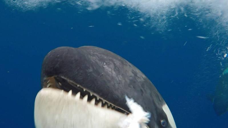 Antarctique: une scientifique se retrouve face à face avec une orque impressionnante