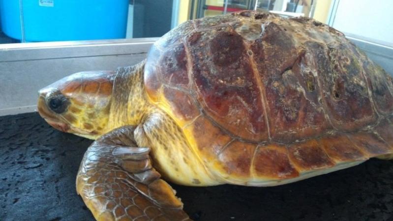 Italie: une tortue marine a été retrouvée morte, l'estomac rempli de plastique