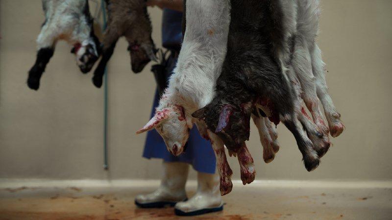 Elevage: des milliers de vaches et de brebis en gestation finissent à l'abattoir