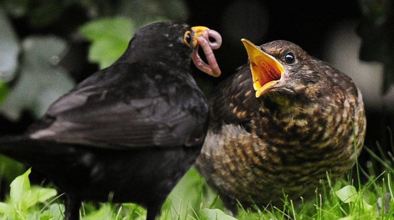 Le merle noir est l'un des tout premiers messagers du printemps et commence à chanter en février, selon la Station ornithologique suisse. (Archives)