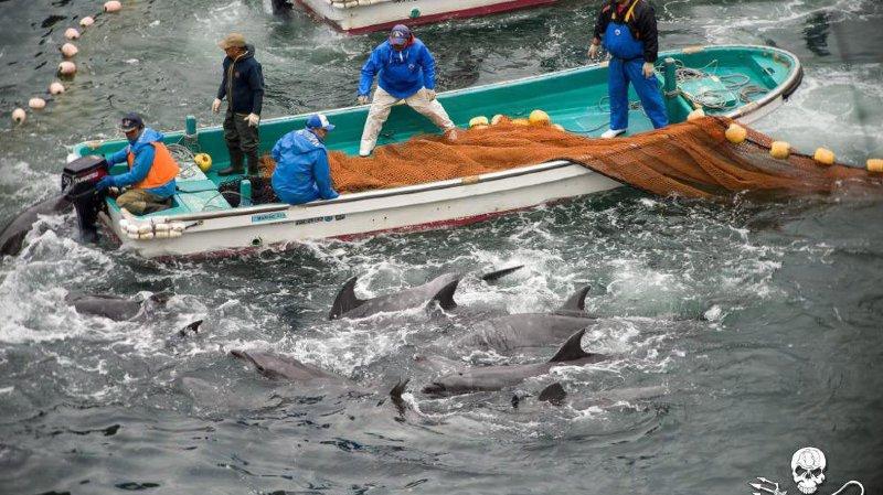 Plainte inédite pour interdire la chasse aux dauphins