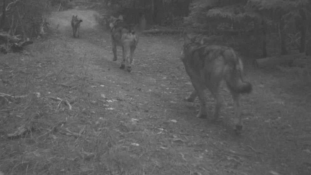 Ces trois loups font partie de la meute confirmée entre Agarn et Sierre. Cette photo a été réalisée en décembre 2018.
