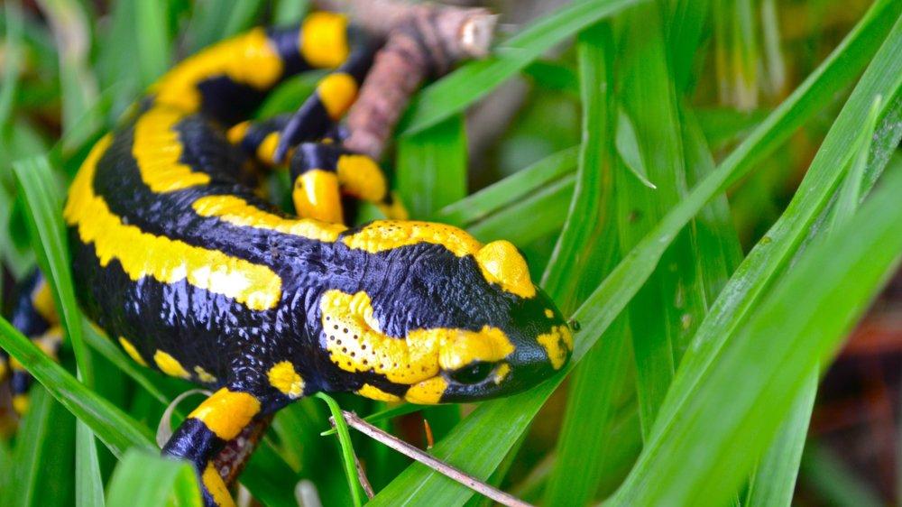 La salamandre tachetée est l'une des plus belles ambassadrices de la famille des urodèles.