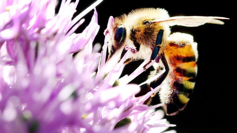 Pesticides: les abeilles suisses sont exposées à plusieurs substances nocives