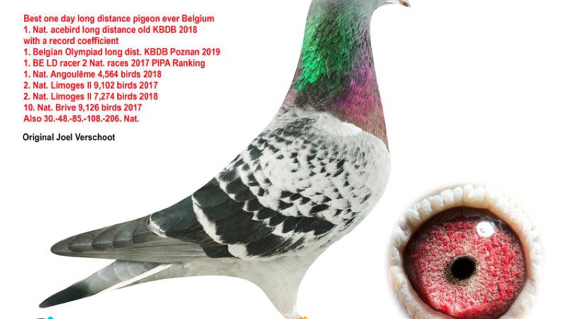 Le pigeon Armando a été vendu à plus d'1 million de francs lors d'une vente aux enchères.
