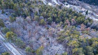 Niouc: victimes du réchauffement climatique, de nombreux pins sont condamnés à l'abattage