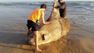Un gros poisson bien mystérieux s'échoue