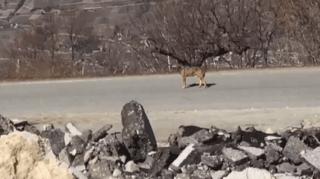 Loye: un loup filmé depuis une voiture à l'entrée du village