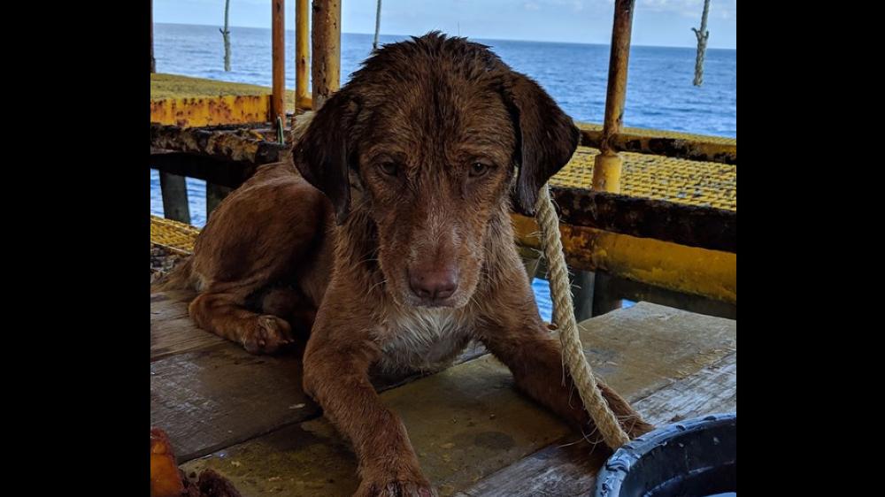 Thaïlande: un chien sauvé en pleine mer par les employés d'une plateforme pétrolière