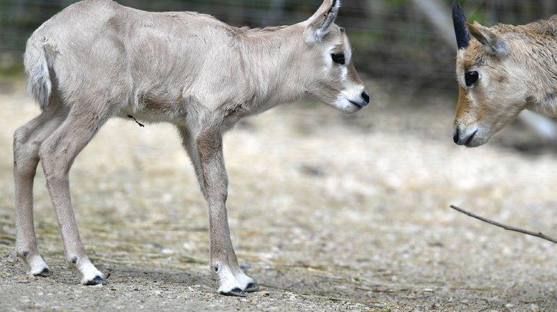 Zoo de Zurich: naissance de deux bébés oryx, une espèce d'antilope arabique menacée
