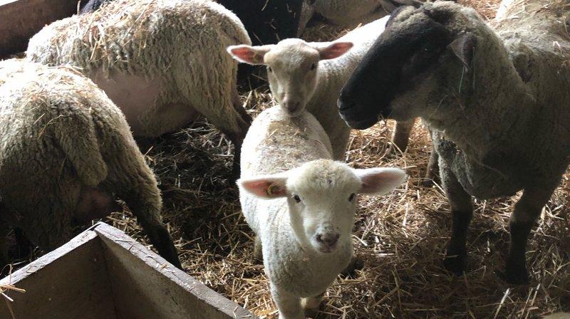 Les agneaux volés se trouvaient dans la bergerie.