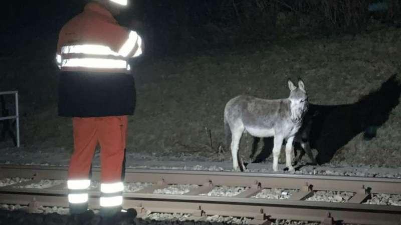 Saint-Gall: des ânes en cavale stoppés par un train à Mörschwil