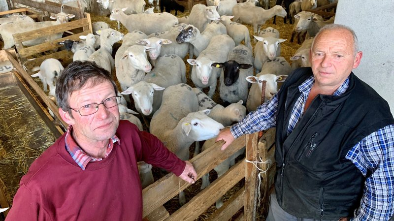 Chablais: la présence accrue du loup inquiète les moutonniers
