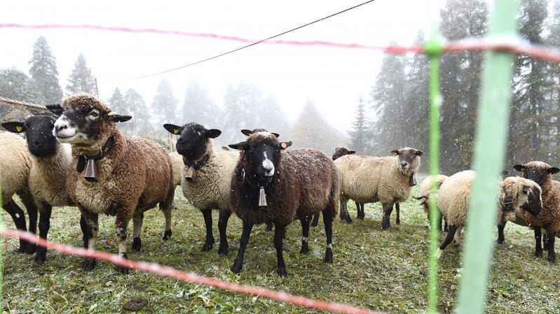 Grands prédateurs: la protection des troupeaux coûte 1,6 million par an en Valais