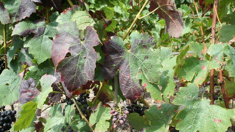 Vignes: le Valais échappe à la flavescence dorée