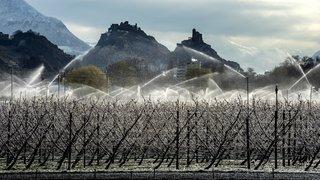 Gel: la plaine du Rhône comme le coteau valaisan ont évité une grosse casse