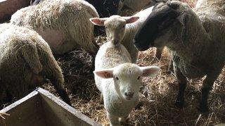 Évionnaz: 40 agneaux volés dans une bergerie