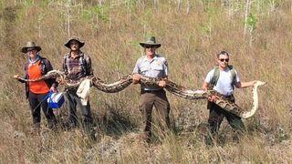Monstrueux: un python de 5,20 m capturé en Floride