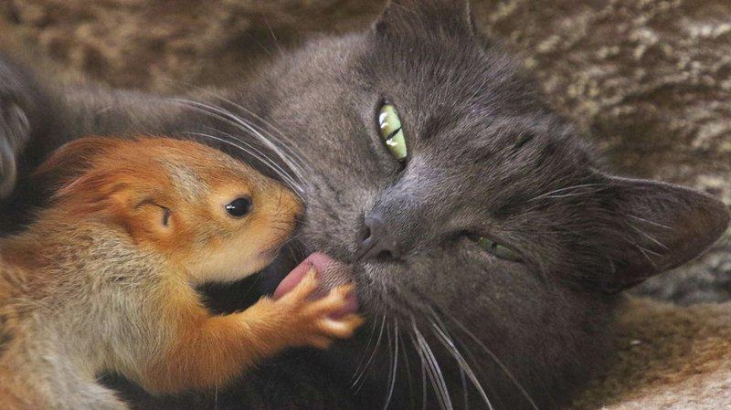 Une chatte adopte 4 bébés écureuils orphelins