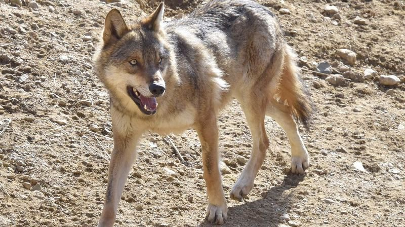 Un loup est soupçonné d'avoir dévoré un agneau à Vouvry.