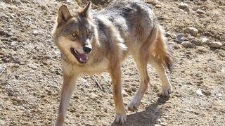 Attaque d'un agneau à Vouvry: le loup soupçonné
