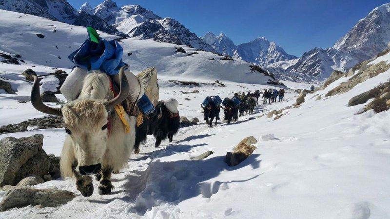 Les yaks représentent l'une des principales ressources de la région du Sikkim, dans l'Himalaya. (Illustration)