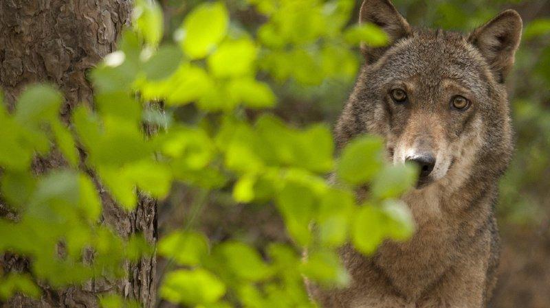 Grands prédateurs: les loups devraient être plus facilement abattus en Suisse
