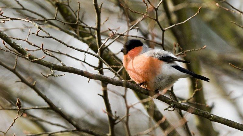 Biodiversité: les Suisses ont recensé près de 70'000 oiseaux dans les jardins et les parcs