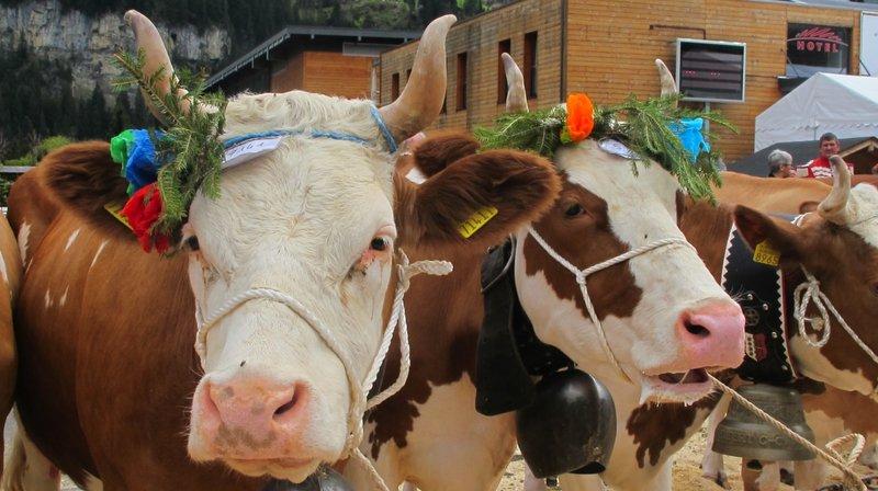 Samedi, les visiteurs pourront admirer une quarantaine de vaches.
