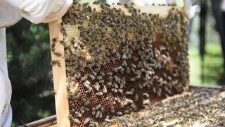 Environnement: la disparition des abeilles menace la sécurité alimentaire mondiale